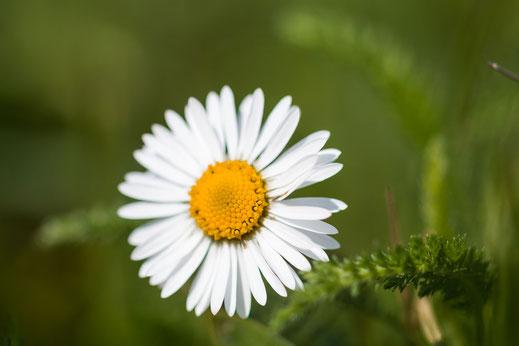 Gänseblümchen-macro mit großer Blende © Jutta M. Jenning