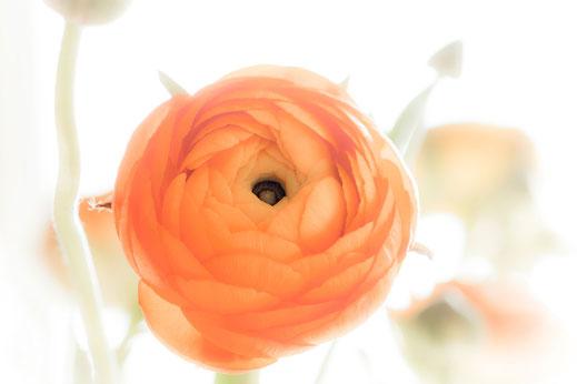 Ranunkel - Blüte in sattem Orange mit weisser weicher Vignette