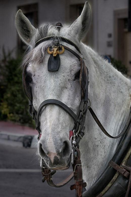 Kutschpferd mit Geschirr - Portrait
