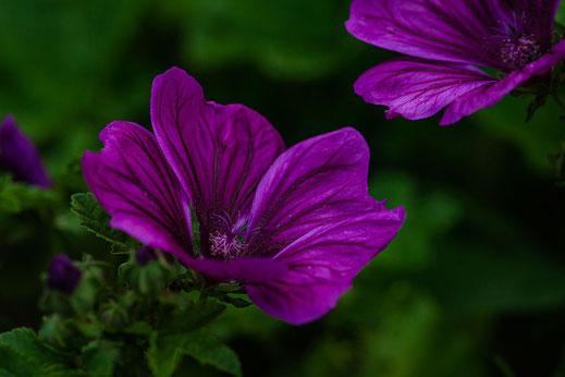 Wilde Malve violett-Blüte © Jutta M. Jenning ♦ www.mjpics.de