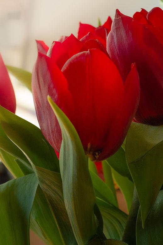 Rote Tulpen © Jutta M. Jenning ♦ www.mjpics.de