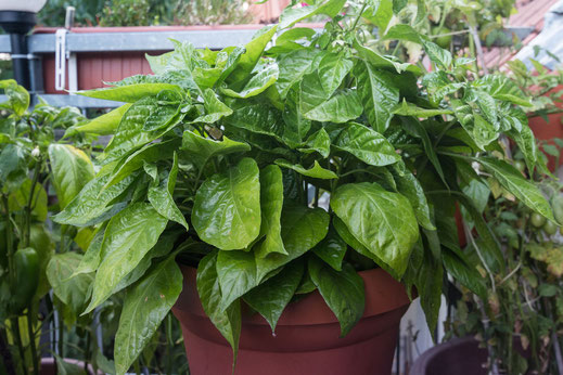 Habanero-Pflanze-Balkonbepflanzung