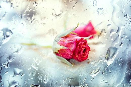 zarte-kleine-rose-rosa-mit-regentropfen