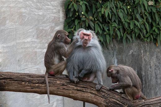 mantel-pavian-familie-beim-lausen-affen-tiere