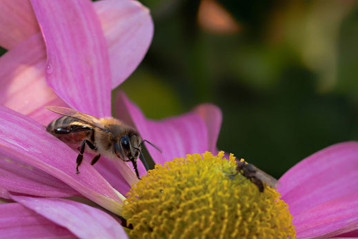 Biene an rosafarbener Chrysantheme © Jutta M. Jenning ♦ www.mjpics.de