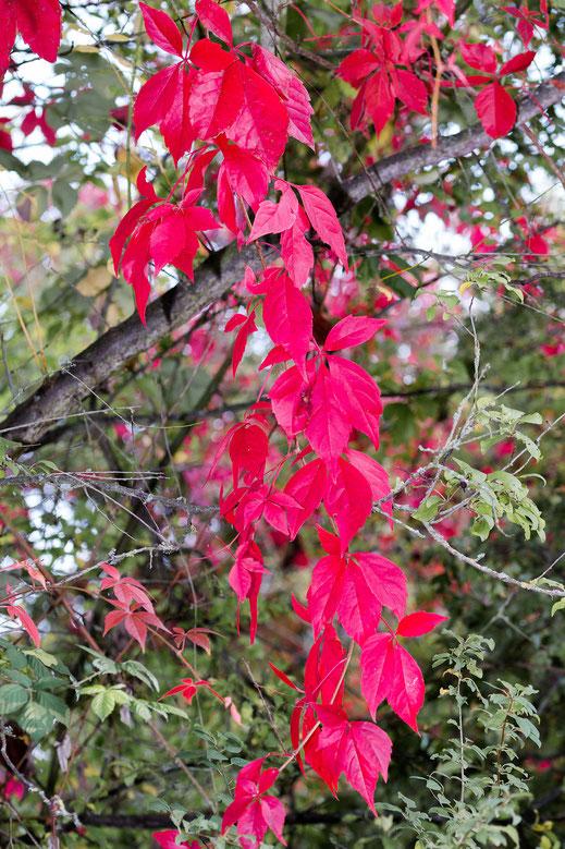 Rote Herbstblätter ranken ins Gebüsch hochkant Bilder kostenlos bei www.mjpics.de