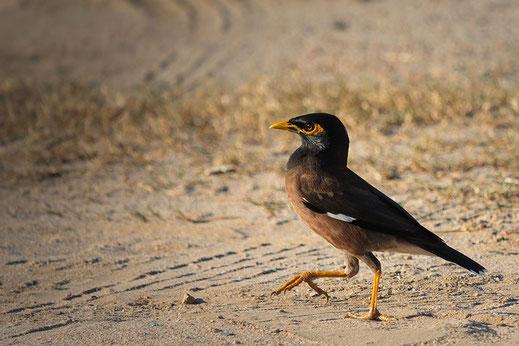 Hirtenmaina-Hirtenstar-Tropischer Vogel läuft auf Sand