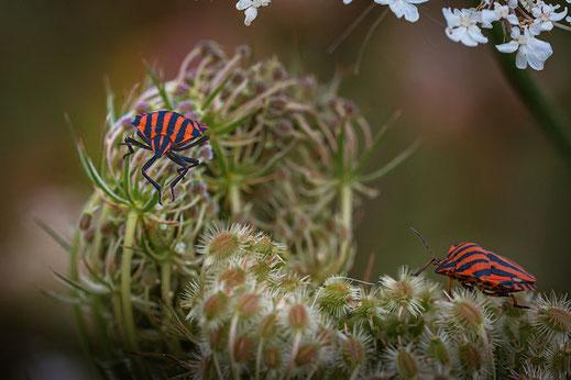 Zwei Streifenwanzen krabbeln auf wilder Möhre