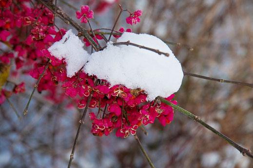 schnee-bedecktes-pfaffenhuetchen