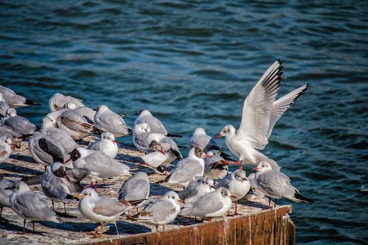 Möwen am Rhein © Jutta M. Jenning mjpics