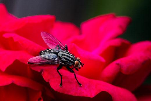 Fleischfliege sitzt auf roter Rosenblüte