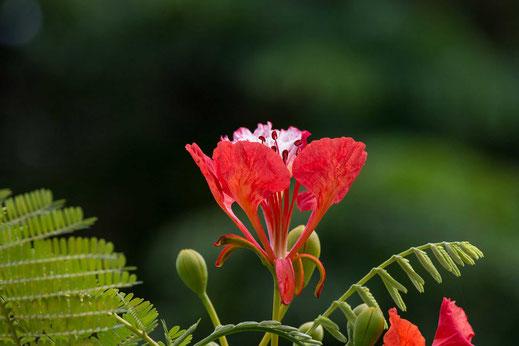 Zum Portfolioverschiedene Blumen - Vorschau-Blüte des Flammenbaumes-Flamboyant