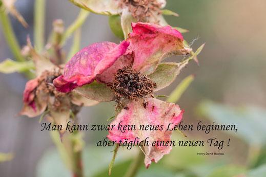 spruchkarte-verbluehte-rose-neues-leben