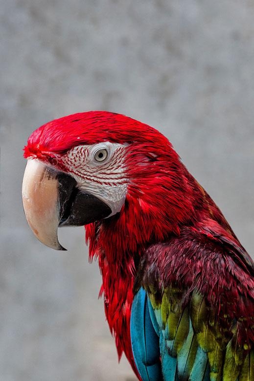 Bunter Papagei - Ara hochkant © Jutta M. Jenning