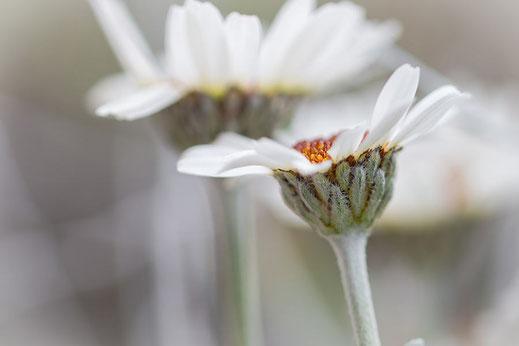 Rhodantheum-Marokkanische Margeriten © www.mjpics.de