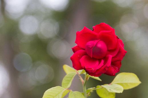 Zum Portfolio Rosen- Vorschau-Rot blühende Freilandrose