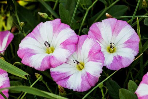Ackerwinden- Blüten in der Farbe weiss-rosa auf der Wiese