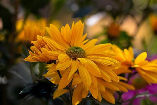 Gelbe Chrysanthemen blühen
