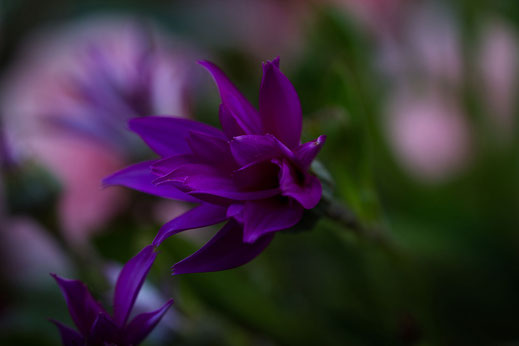 lilafarbene Senetti-Blüte Macroaufnahme