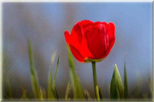 Rote Tulpe auf der Wiese-Foto gerahmt © Jutta M. Jenning