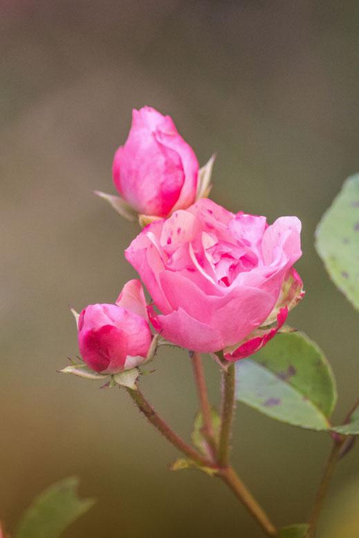 Rosafarbenes Buschwindröschen hochkant