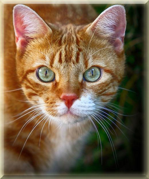 Rot gestromte Katze - Portrait gerahmt