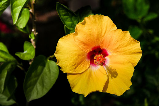 Gelbe Hibiskusblüte-Thailand