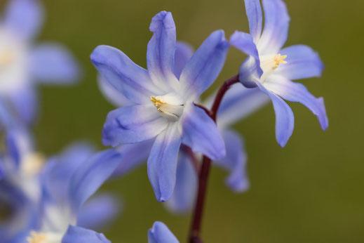 Blaue Blüten der Sternhyazinthe-Makrofotografie