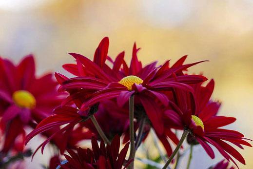 Purpurfarbene Chrysanthemen © Jutta M. Jenning ♦ www.mjpics.de
