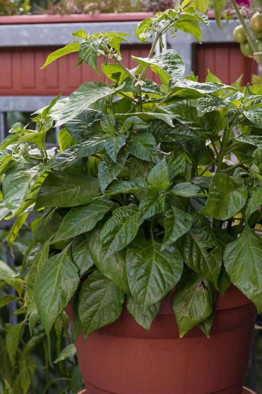Habanero-Pflanze-Balkonbepflanzung hochkant