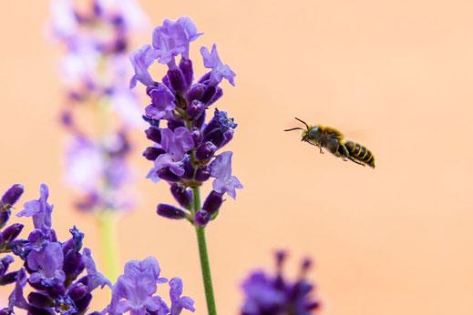 Wildbiene im Anflug zum duftenden Lavendel © www.mjpics.de