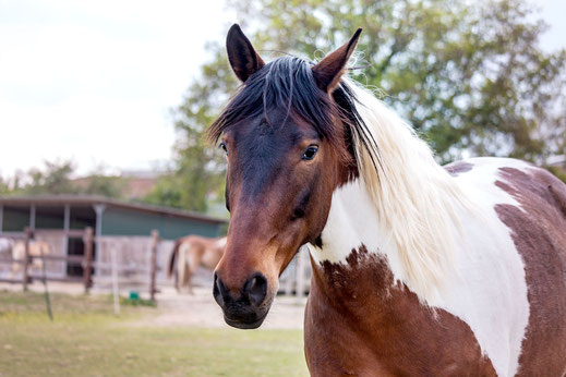 braun-weiss-geschecktes-pferd-portrait