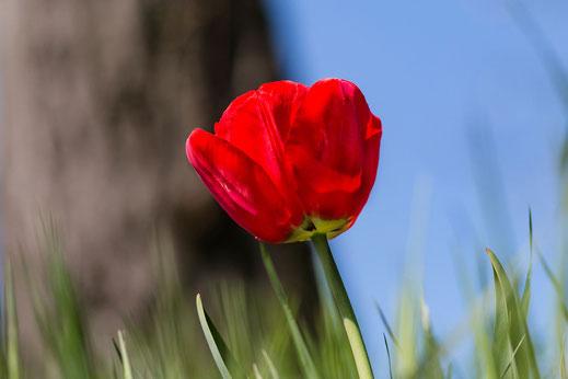 Rote Tulpe auf der Wiese © Jutta M. Jenning