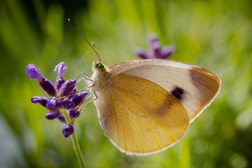 Kohlweißling Seitenansicht an Lavendel © Jutta M. Jenning ♦ www.mjpics.de