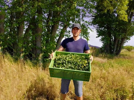 Bio-Hanfblüten-Tee direkt beim regionalen Erzeuger kaufen