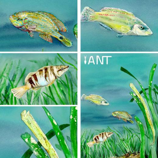 sentier sous marin, interprétation, panneaux pédagogiques, panneau, médiation scientifique, herbier de posidonie, aquarelle, illustration