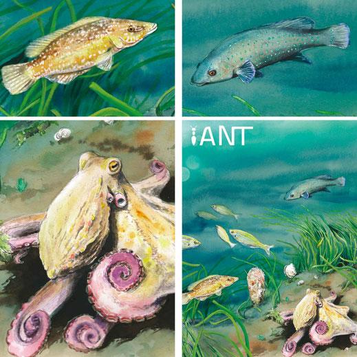 herbier posidonie, illustration, aquarelle, sentier sous marin, Méditerranée, poulpe, interprétation, pédagogique, panneaux
