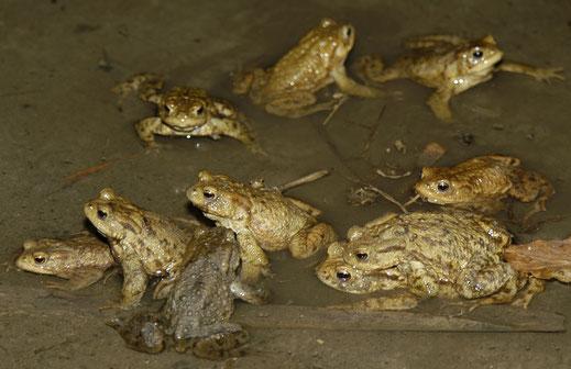 Erdkröten in Hochzeitsstimmung, Bild: Martin Wölker