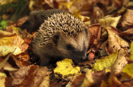 Igel im Herbstlaub, Foto: pixabay