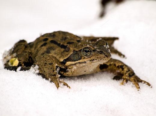 Frosch im Schnee, Foto: pixabay
