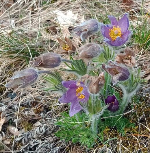 Gewöhnliche Küchenschelle (Pulsatilla vulgaris), eine alte Heilpflanze und wichtiges Mittel in der Homöopathie