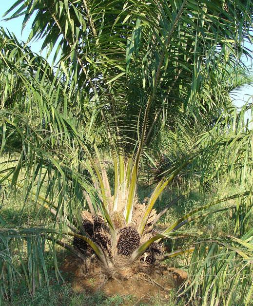 Palmöl Baum