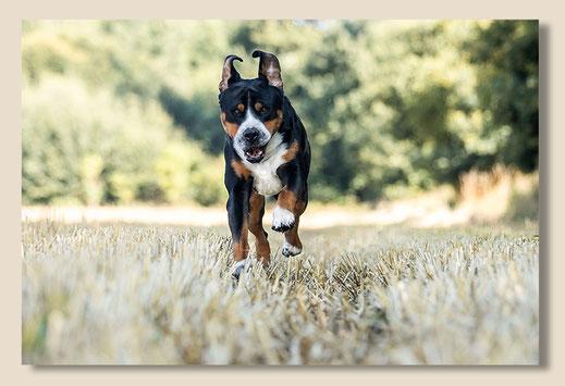 Der Große Schweizer Sennenhund Alfons heißt Alfons vom Lütten Peerstall . Auf diesem Foto rennt er  freudig auf den Fotografen zu!