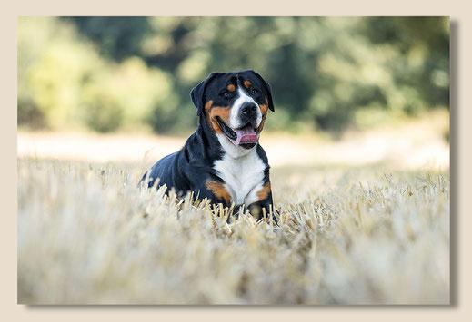 Alfons ist ein Grosser Schweizer Sennenhund. Hier liegt er auf einem gemähten Feld  auf dem Bauch. Der Kopf ist gehoben und er schaut den Fotografen an, direkt in die Kamera.