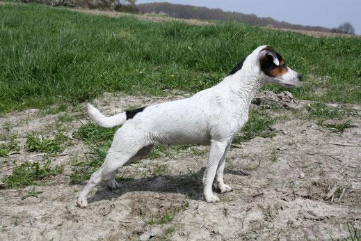 PRT Zwinger vom Glockenhof Welpen Zucht Zwinger PRT vom Glockenhof jagdlich geführte Parson Russell Terrier