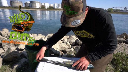 In den entstandenen Hohlraum des Köderfisches können nun Cork Sticks eingeschoben werden und verleihen dem Dead Bait natürlichen, waagerechten Auftrieb.