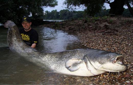 243cm Rheinwels für Peter Merkel, auch in Deutschland kann man solche kapitale Fische fangen.
