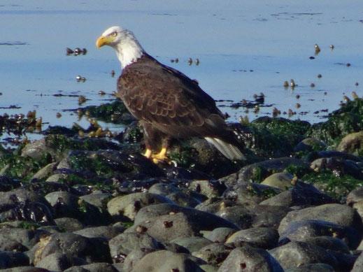In den USA lernt man bereits als Kind diesen Vogel kennen: Er ist das Wappentier der Vereinigten Staaten, der Weißkopfseeadler.