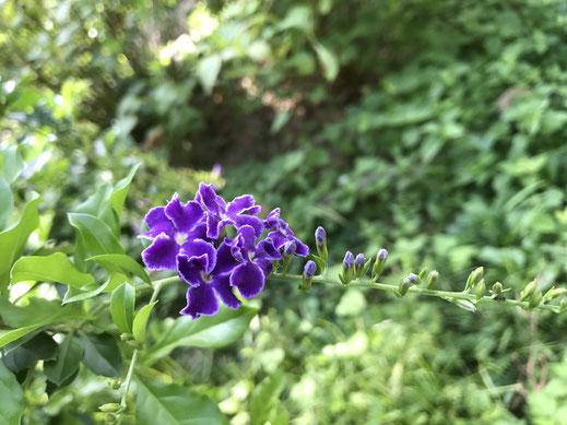 デュランタは初夏に咲く紫の花です
