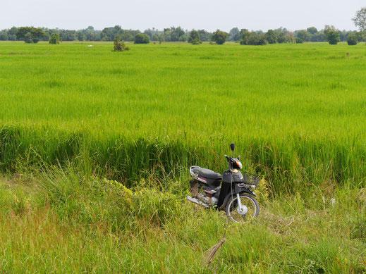 Ein volles, erntereifes Reisfeld, bei Battambang, Kambodscha (Foto Jörg Schwarz)